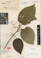 Type of Clidemia matudae L.O.Williams [family MELASTOMATACEAE]