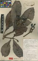 Type of Kjellbergiodendron hylogeiton Burret [family MYRTACEAE]