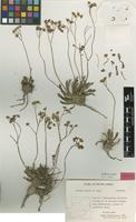 Isotype of Othonna hallii B.Nord. [family ASTERACEAE]