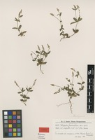 Isotype of Polygala guaranitica Chodat [family POLYGALACEAE]