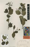 Type of Cordia dependens Urb. & Ekman [family BORAGINACEAE]