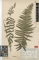 Syntype of Dryopteris phacelothrix C.Chr. & Rosenst. [family THELYPTERIDACEAE]