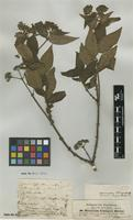 Type of Vignaldia schimperiana A.Rich. [family RUBIACEAE]