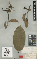 Type of Lecythis subglandulosa Steud. ex O.Berg [family LECYTHIDACEAE]