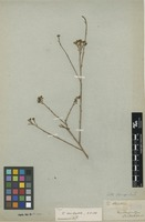 Type of Thesium occidentale A.W.Hill [family SANTALACEAE]