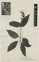 Filed as Justicia secunda Vahl [family ACANTHACEAE]