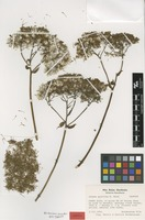 Isotype of Jessea gunillae B.Nord. [family ASTERACEAE]