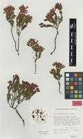 Isotype of Erica insolitanthera H.A.Baker [family ERICACEAE]