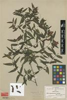 Syntype of Lamourouxia exserta B.L.Rob. & Greenm. [family OROBANCHACEAE]
