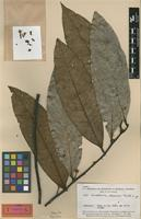 Holotype of Guatteria discolor R.E.Fr. [family ANNONACEAE]