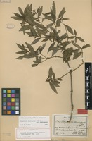 Lectotype of Hedyosmum domingense Urb. [family CHLORANTHACEAE]