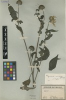 Isotype of Viguiera mima S.F.Blake [family ASTERACEAE]