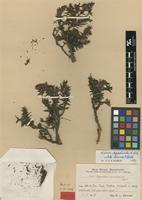 Holotype of Hypericum incurvans Urb. [family HYPERICACEAE]