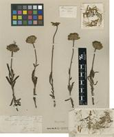 Holotype of Vernonella africana Sond. [family ASTERACEAE]
