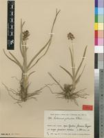 Type of Anthericum puberulum Weim. [family ANTHERICACEAE]