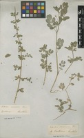 Filed as Kallstroemia maxima (L.) Hook. & Arn. [family ZYGOPHYLLACEAE]