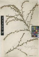 Filed as Pseudelephantopus spicatus (B.Juss. ex Aubl.) C.F.Baker [family ASTERACEAE]