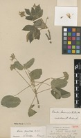 Isotype of Oxalis loxensis R.Knuth [family OXALIDACEAE]