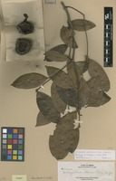 Paratype of Willughbeia elmeri Merr. [family APOCYNACEAE]