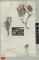 Holotype of Helipterum canescens (L.) DC. var. microphyllum Sond. [family ASTERACEAE]