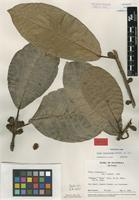 Isotype of Ficus venosissima Lundell [family MORACEAE]