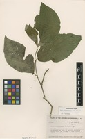 Isotype of Piper coyolesense Trel. [family PIPERACEAE]