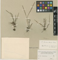 Isotype of Scaphyglottis sanctae-martae Schltr. [family ORCHIDACEAE]