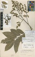 Isotype of Fagara riedeliana (Engl.) Engl. var. pubescens Chodat & Hassl. [family RUTACEAE]