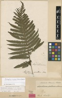 Syntype of Polypodium patens Sw. [family THELYPTERIDACEAE]