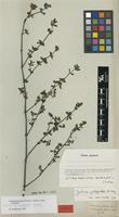 Isotype of Gendarussa protracta Nees forma strictior Nees [family ACANTHACEAE]