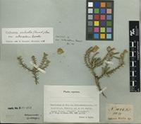 Isotype of Cullumia sulcata (Thunb.) Less. var. intercedens Roessler [family ASTERACEAE]