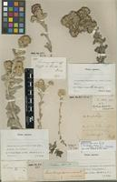 Filed as Helichrysum spiralepis Hilliard&B.L.Burtt [family ASTERACEAE]