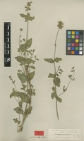 Type of Stachys laetevirens Kotscky & Boiss. ex Rech.f. [family LAMIACEAE]