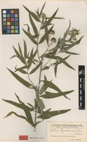 Isotype of Viguiera salicifolia Hassl. [family ASTERACEAE]