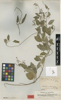 Isotype of Leptadenia abyssinica Decne. [family APOCYNACEAE]