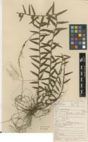Type of Appendicula laxifolia J.J.Sm. [family ORCHIDACEAE]