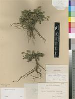 Isotype of Aster buchubergensis Dinter [family ASTERACEAE]