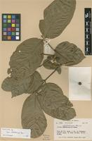 Isotype of Guarea rhabdotocarpa Harms [family MELIACEAE]