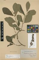 Isotype of Forsteronia pubescens A.DC. [family APOCYNACEAE]