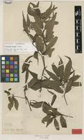 Lectotype of Hedyosmum nutans Sw. [family CHLORANTHACEAE]