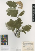 Filed as Sorbus hybrida L. [family ROSACEAE]