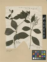 Type of Chloranthus inconspicuus Sw. [family CHLORANTHACEAE]