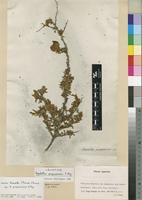 Lectotype of Aspalathus purpurascens E.Mey. [family FABACEAE]