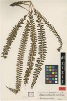 Type of Polystichum hecatopterum Diels var. major Rosenst. [family DRYOPTERIDACEAE]