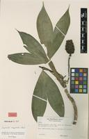 Holotype of Asplundia cuspidata Harling [family CYCLANTHACEAE]