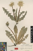 Isolectotype of Taraxacum latipes Dahlst. [family ASTERACEAE]