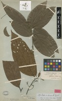 Isotype of Nectandra leucantha Nees & Mart. [family LAURACEAE]