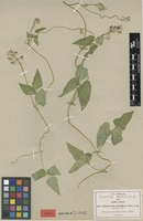 Isotype of Minkelersia multiflora Rose [family FABACEAE]