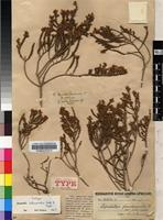 Isolectotype of Aspalathus intermedia Eckl. & Zeyh. [family FABACEAE]