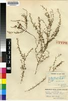 Isotype of Muraltia minuta Levyns [family POLYGALACEAE]